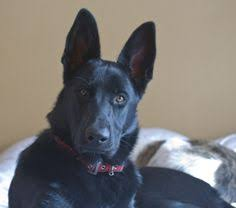 9 month old belgian malinois home to all black german shepherds on texas ranch leybourne
