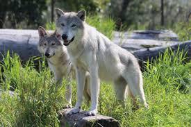 Alaska wildlife images Alaska wildlife conservation center girdwood alyeska alaska jpg