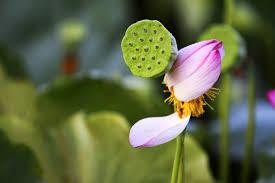 free images nature blossom meadow leaf flower petal pond