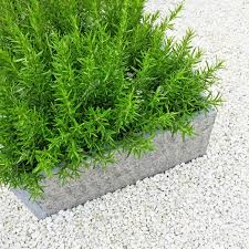 rosemary plant on white background contemporary garden