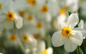 daffodil flower macro focus 6993025