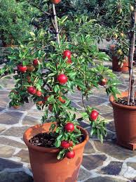 Great Indoor Trees Hgtv by Container Gardening 9 Fruit Plants For Pots Hgtv Large