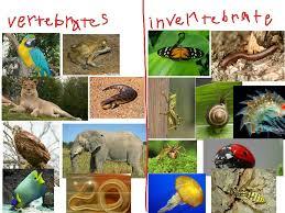 vertebrates and invertebrates science showme
