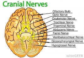 What Is The Main Function Of The Medulla Oblongata What Is The Function Of The Pons With Pictures