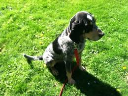 bluetick coonhound with cats meet duke a petfinder adoptable bluetick coonhound dog in