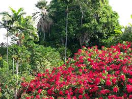 hawaii christmas flower fields of poinsettia hawaii pictures