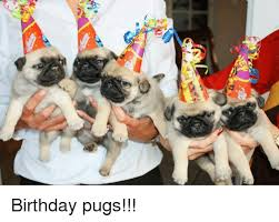 Birthday Pug Meme - 4 birthday pugs meme on me me