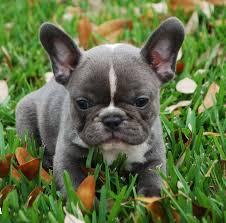 french bull dogs u2013 french bulldog pups