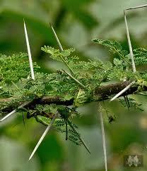 toothpick tree india travel forum indiamike