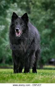 belgian sheepdog groenendael belgian shepherd dog groenendael black running on snow