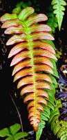 plants native to new zealand blechnum nz fern blechnum novae zelandiae commonly known as