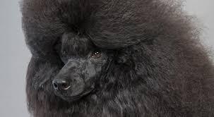 american eskimo dog poodle mix poodle dog breed information american kennel club