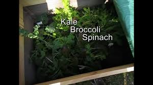 growing veggies in winter canada november update youtube