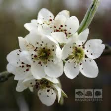 pyrus pendula weeping pear tree mail order trees