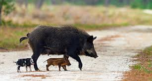 Florida Wild Animals images Wild pigs animal rights foundation of florida jpg