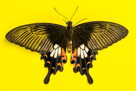 free images wing insect moth butterfly fauna invertebrate
