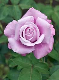 Fragrant Rose Plants Fragrant Rose Plants Best Plants 2017