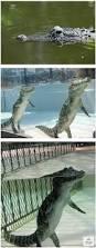 Interior Crocodile Alligator I Thought Crocodiles Were Swimming Imgur