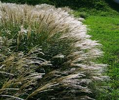 free photo flowering ornamental grass silvery free image on