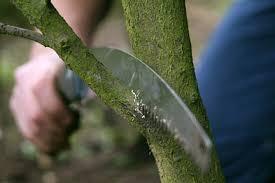 trees pruning rhs gardening