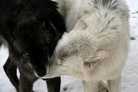 black and white wolf 1 high resolution wallpaper hdblackwallpaper com