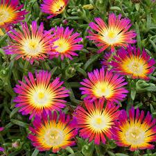 fleurs vivaces rustiques vivaces à longue floraison plantes et jardins