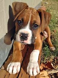 boxer dog mean brindle pit bull boxer pit bull terrier mix furry babies