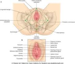 Perineum Anatomy Female An2 16 Perineum Studyblue