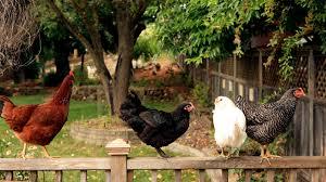 keeping backyard chickens u2013 your backyard chicken keeping toolkit