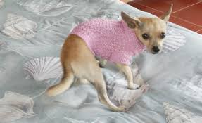 chihuahua sweaters the chihuahua sweater chihuahua clothing you can t really argue