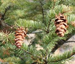 native utah plants utah u0027s conifer trees wild about utah