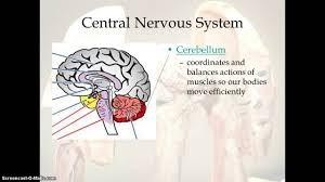 Nervous System Human Anatomy Human Body Nervous System Youtube