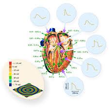 Borders Of The Heart Anatomy Basic Mechanisms Of Cardiac Arrhythmias Intechopen