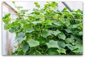 Can Cucumbers Grow Up A Trellis Planting Cucumbers Using Trellises And More