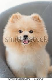 puppy pomeranian dog cute pet setting stock photo 560121718