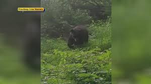 viewer video black bear sighting in princeton 6abc com