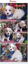 bichon frise breeders texas best 25 cute dogs for sale ideas on pinterest pups for sale