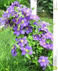 clemantis flower on a trellis stock photo image 64731659