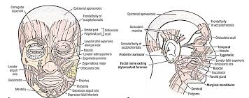 Parts Of The Face Anatomy Face Anatomy Skin Nerve And Arterial Supply Lymphatic And