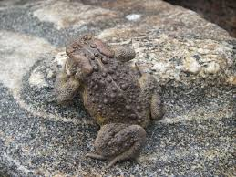 american toad frogwatch
