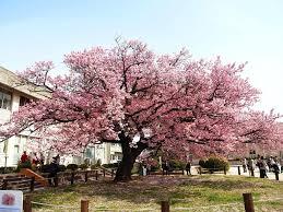 japanese flowering trees cherry blossom in arizona washington dc