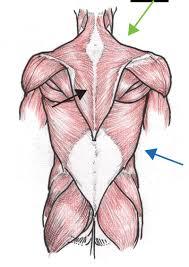 Anatomy Of Human Back Muscles Human Anatomy Back Muscles Tag Human Anatomy Of Lower Back Muscles