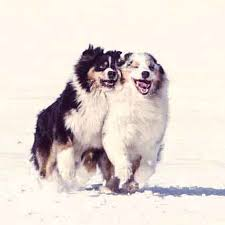 lifespan of australian shepherd australian shepherd breed and health petcarerx