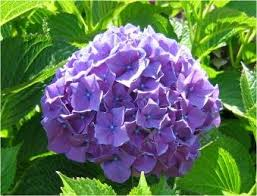 purple hydrangea hydrangea purple hydrangea seeds treasuresbylee