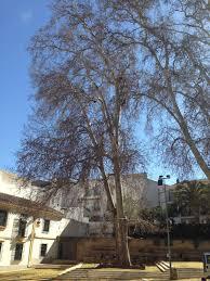 restoration of unique trees in andalusia doctorarbol