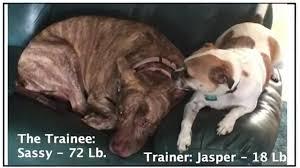 jack russell american pitbull terrier mix track2 com 034 tall chihuahua jack russell mix u201cexercises u201d short