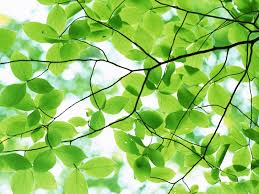 bark of a tree pleasant green leaves desktop backgrounds pictures jpg