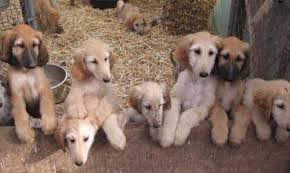 afghan hound breed return of the old afghan hound pashmi dog breed info and photos
