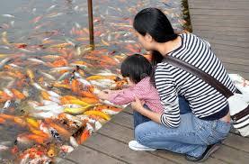 pesci alimentazione chengdu cina pesci d alimentazione della figlia e della madre