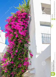beautiful climbing plant with pink flowers in a white house stock